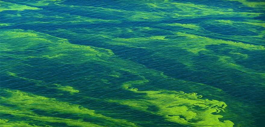 cyanobacteria-cianobacterias-bloom