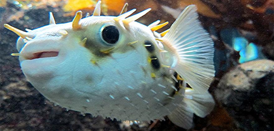 pezglobo-fugu-peces-