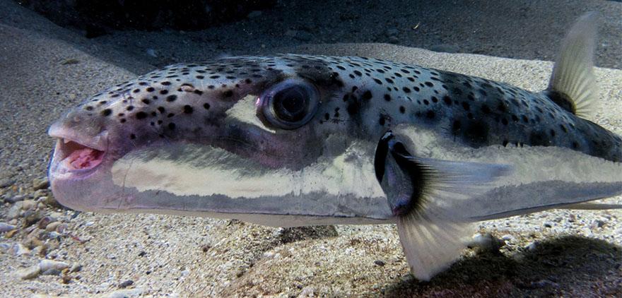 pezglobo-lagocephalus-