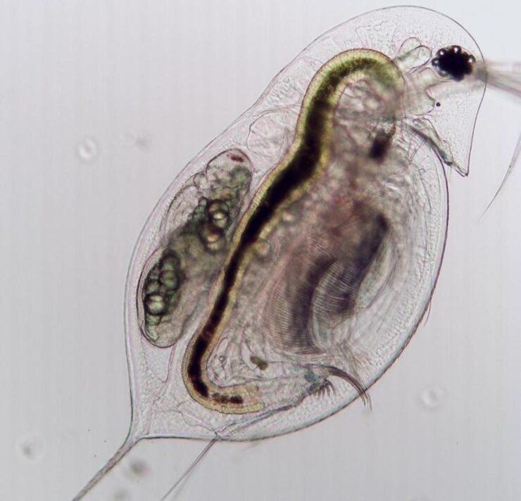 El plancton podría ayudar a prevenir pandemias