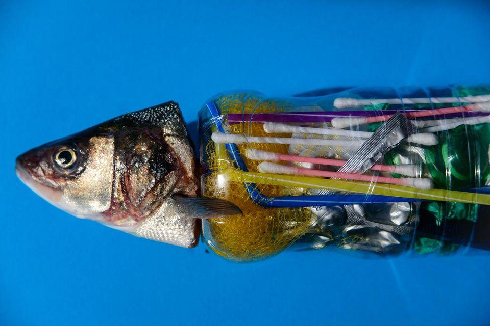 Dos de cada 3 lubinas cultivadas en la costa de Tenerife han comido plástico